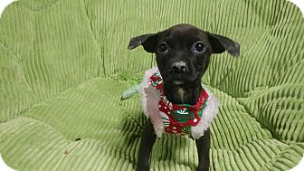 Chihuahua Mix Puppy for adoption in Forest Hill, Maryland - Little Bit