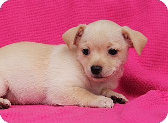 Terrier (Unknown Type, Small)/Chihuahua Mix Puppy for adoption in Los Angeles, California - Bali
