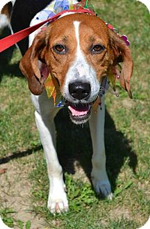 Coonhound Dog for adoption in Youngstown, Ohio - Annie