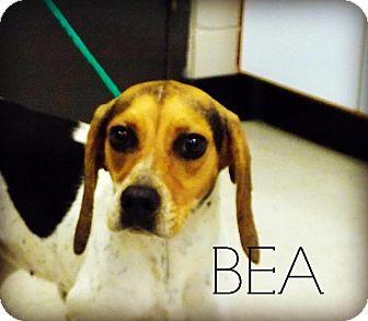 Beagle Mix Dog for adoption in Defiance, Ohio - Bea