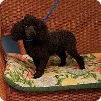 Adopt A Pet :: Halston - Tulsa, OK