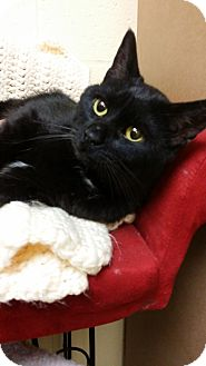 Domestic Shorthair Cat for adoption in Berlin, Connecticut - Locket