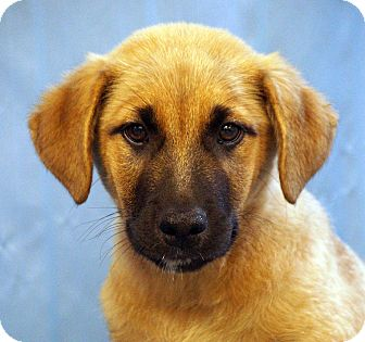 German Shepherd Dog/Labrador Retriever Mix Puppy for adoption in Maynardville, Tennessee - Philip