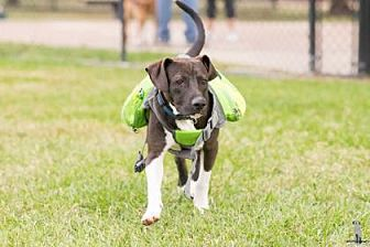 Labrador Retriever Mix Dog for adoption in Santa Fe, Texas - Domino