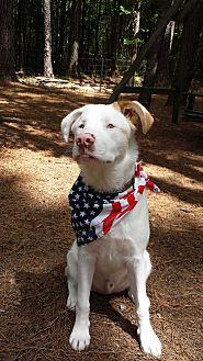 Australian Shepherd/Golden Retriever Mix Dog for adoption in Madison, Wisconsin - Augie:Happy boy! (GA)