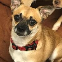 Adopt A Pet :: Sharpei - Wellsville, NY