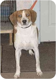 Black and Tan Coonhound/Foxhound Mix Dog for adoption in Austin, Minnesota - Casey