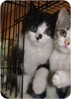 Domestic Longhair Kitten for adoption in Honesdale, Pennsylvania - Balou