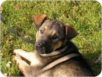German Shepherd Dog/Labrador Retriever Mix Puppy for adoption in Rigaud, Quebec - Spice