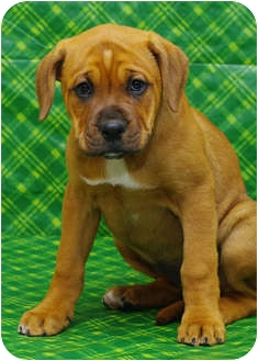 Mastiff/Boxer Mix Puppy for adoption in Westminster, Colorado - RODIN