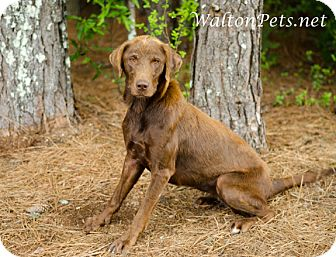 Labrador Retriever Mix Dog for adoption in Monroe, Georgia - HOPE