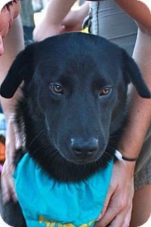 Labrador Retriever Mix Dog for adoption in Largo, Florida - GORDIE