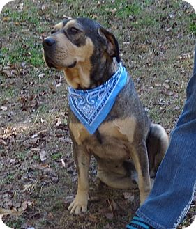 Mastiff/Shepherd (Unknown Type) Mix Dog for adoption in Spring Valley, New York - Barney Blue ($100 off)