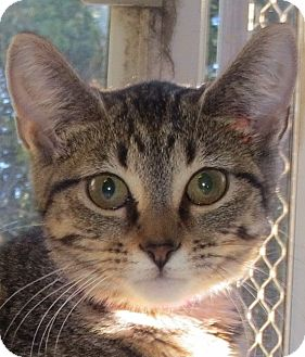 Domestic Shorthair Cat for adoption in Geneseo, Illinois - Matilda