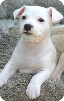 Jack Russell Terrier/American Bulldog Mix Puppy for adoption in Santa Ana, California - Dude