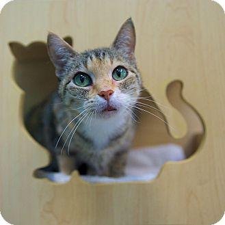 Domestic Shorthair Cat for adoption in Houston, Texas - Potzo