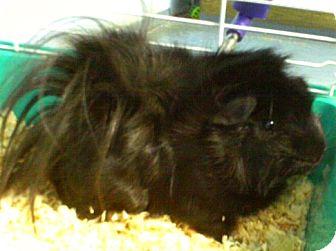 Guinea Pig for adoption in Staunton, Virginia - Almond Joy