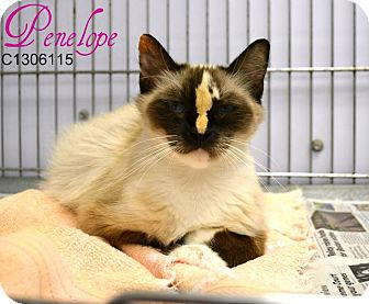 Snowshoe Cat for adoption in Laplace, Louisiana - Penelope