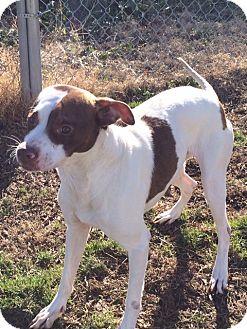 Pointer Mix Dog for adoption in Hatifeld, Pennsylvania - Bagel