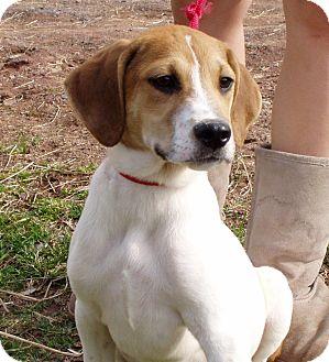Hound (Unknown Type)/Beagle Mix Puppy for adoption in Bartonsville, Pennsylvania - Dawson