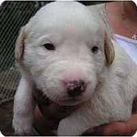 Adopt A Pet :: Quizno - Rigaud, QC