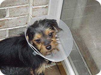 Yorkie, Yorkshire Terrier Mix Dog for adoption in Cincinnati, Ohio - Max