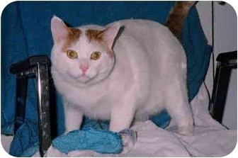 Domestic Shorthair Cat for adoption in Fort McMurray, Alberta - Katy