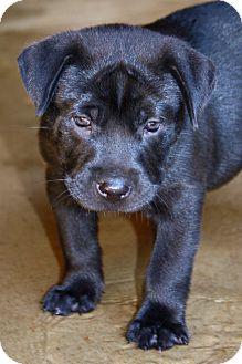 Labrador Retriever/Retriever (Unknown Type) Mix Puppy for adoption in MILWAUKEE, Wisconsin - RUFUS