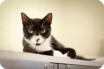 Domestic Shorthair Cat for adoption in Oakland, New Jersey - JD