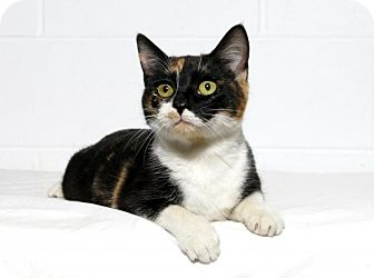 Domestic Shorthair Cat for adoption in Lufkin, Texas - Jewel