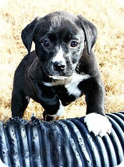 Labrador Retriever/Hound (Unknown Type) Mix Puppy for adoption in Westport, Connecticut - *Priscilla - PENDING