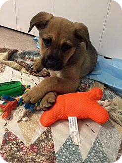 Black Mouth Cur Mix Puppy for adoption in Brookeville, Maryland - Waffles