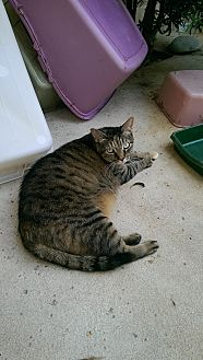 Domestic Shorthair Cat for adoption in Naples, Florida - Flame