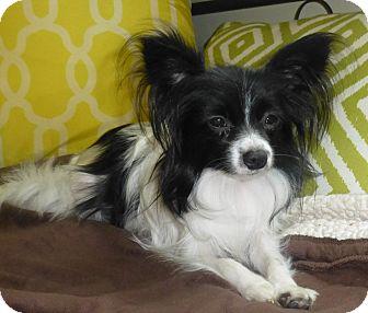 Papillon/Pomeranian Mix Dog for adoption in Barriere, British Columbia - Tabitha (aka Tabby)