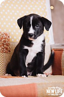 Australian Cattle Dog/German Shepherd Dog Mix Puppy for adoption in Portland, Oregon - Marlin