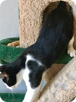 Domestic Shorthair Kitten for adoption in Houston, Texas - Preacher (special needs)