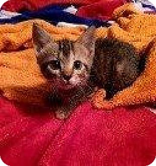 Domestic Shorthair Kitten for adoption in Hampton, Virginia - LEONARDO (LUPITA KITTEN)