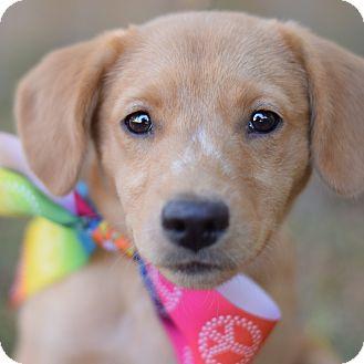 Labrador Retriever Mix Puppy for adoption in Glastonbury, Connecticut - Val