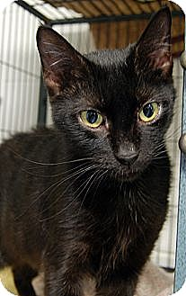 Domestic Shorthair Cat for adoption in Huntley, Illinois - Amethyst