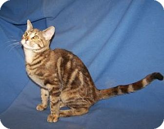 Domestic Shorthair Kitten for adoption in Colorado Springs, Colorado - K-Ginger1-Angelina