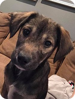 Husky/Australian Shepherd Mix Puppy for adoption in Beaumont, Texas - Kris