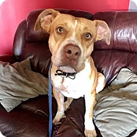 American Pit Bull Terrier/Pit Bull Terrier Mix Dog for adoption in Phoenix, Arizona - Roxy- Courtesy Post