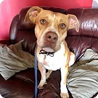 Adopt A Pet :: Roxy- Courtesy Post - Phoenix, AZ