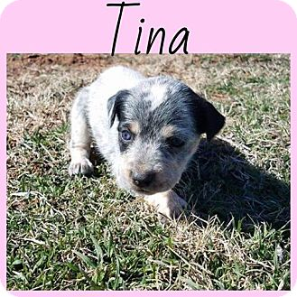 Australian Cattle Dog/Catahoula Leopard Dog Mix Puppy for adoption in Oxford, Connecticut - Tina