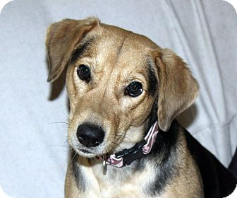 Shepherd (Unknown Type)/Beagle Mix Dog for adoption in kennebunkport, Maine - Esther - in Maine, PENDING
