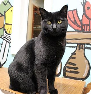 Domestic Shorthair Cat for adoption in West Des Moines, Iowa - Genevieve