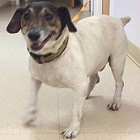 Jack Russell Terrier Mix Dog for adoption in Loudon, Tennessee - Ripley