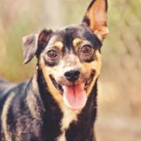 Adopt A Pet :: robert - Wichita, KS