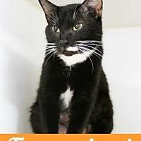 Domestic Shorthair Cat for adoption in Atlanta, Georgia - Biscuit