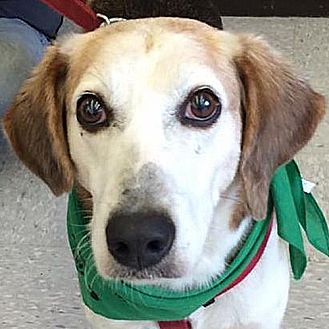 Foxhound Dog for adoption in Fairfax, Virginia - Bones *Adopt or Foster*